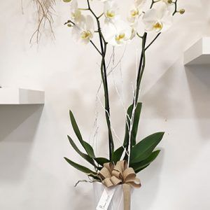 Orquidea blanca Pureza