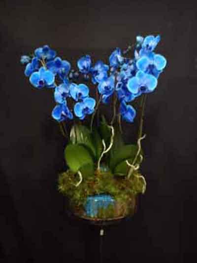 Centro orquídeas azules