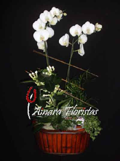 Orquidea bambu rojo