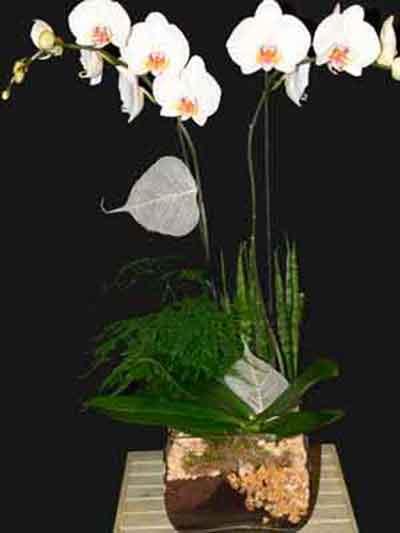 Orquidea sara