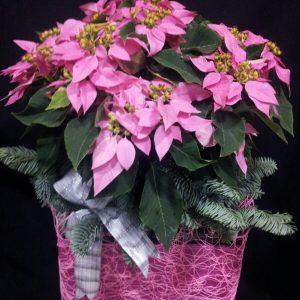 Centro Poinsentias rosas