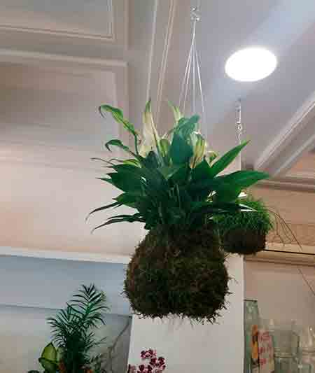 Kokedama Espatifilo