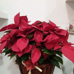 Comprar plantas de Navidad